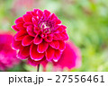 ダリア 品種(サマンサ) 27556461