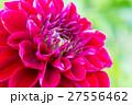 ダリア 品種(サマンサ) 27556462