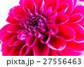 ダリア 品種(サマンサ) 27556463