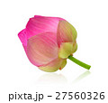 pink lotus on white background 27560326