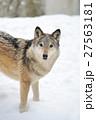 動物 ゆき スノーの写真 27563181