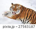 動物 タイガー トラの写真 27563187
