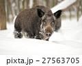 Wild boar 27563705