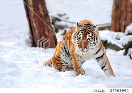 Tigerの写真素材 [27563946] - PIXTA