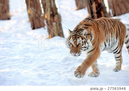 Tigerの写真素材 [27563948] - PIXTA