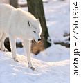 ホワイト 白 おおかみの写真 27563964