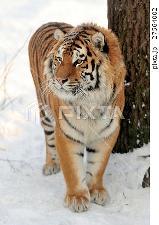 Tigerの写真素材 [27564002] - PIXTA