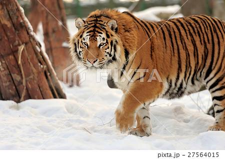 Tigerの写真素材 [27564015] - PIXTA