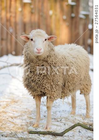 Sheep 27564031