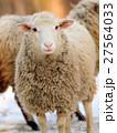動物 羊 ひつじの写真 27564033