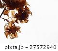 枯れた紫陽花 27572940