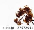 枯れた紫陽花 27572941