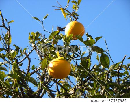 冬の青空にオレンジ色のナツミカンの実 27577985