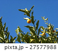 冬の青空にオレンジ色のキンカンの実 27577988