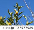冬の青空にオレンジ色のキンカンの実 27577989