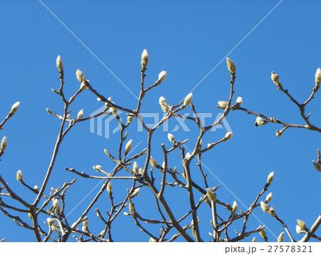 暖かいコートに包まれたようなハクモクレンの花芽 27578321