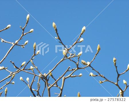 暖かいコートに包まれたようなハクモクレンの花芽 27578322