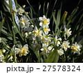 早春の花スイセンは十二月に咲き始めています 27578324