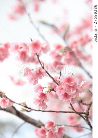 沖縄の桜 カンヒザクラ 27589386