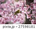 桜とメジロ 27598181