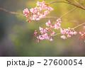 Wild Himalayan Cherry spring blossom 27600054