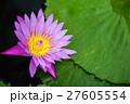 植物 湖 百合の写真 27605554