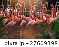 鳥 ふらみんご フラミンゴの写真 27609398