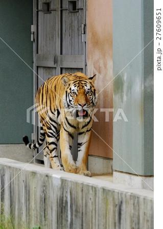 虎の写真素材 [27609651] - PIXTA
