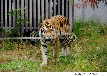虎の写真素材 [27609652] - PIXTA