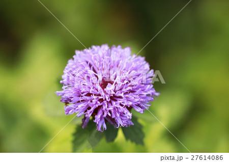 カッコアザミの花 27614086