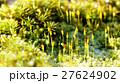 苔 植物 クローズアップの写真 27624902