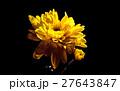 yellow mum Flower - black background  27643847