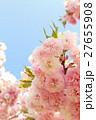 八重桜(花笠) 27655908