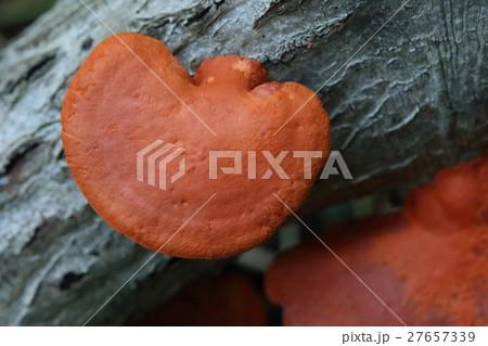 自然 植物 ヒイロタケ、似た姿のキノコがあるようですが傘の裏の様子で見分けられるようです 27657339