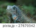 動物 爬虫類 イグアナの写真 27670342
