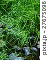 メリケン蚊帳吊 メリケンガヤツリ 花言葉は「伝統」 27675096