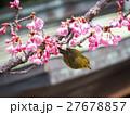 メジロ 河津桜 めじろの写真 27678857