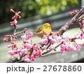 メジロ 河津桜 桜の写真 27678860