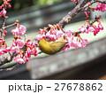 メジロ 河津桜 桜の写真 27678862