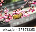 メジロ 河津桜 桜の写真 27678863