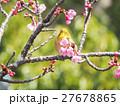 メジロ 河津桜 桜の写真 27678865
