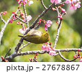 メジロ 河津桜 桜の写真 27678867