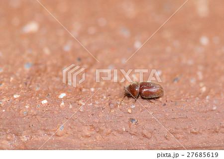 生き物 昆虫 タバコシバンムシ、漢字で書くと『煙草死番虫』。不気味系の名前です 27685619