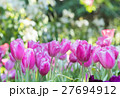 Closeup of pink tulips in a field. 27694912