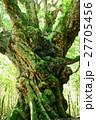 アカガシ 常緑樹 苔の写真 27705456