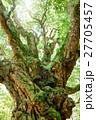 アカガシ 常緑樹 大木の写真 27705457