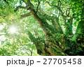 アカガシ 常緑樹 大木の写真 27705458