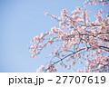 桜 ソメイヨシノ 花の写真 27707619