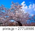 京都府立植物園のソメイヨシノ 27718986
