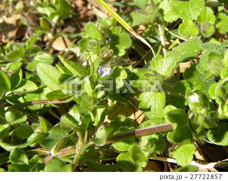 小さい小さいフラサバソウの花 27722857